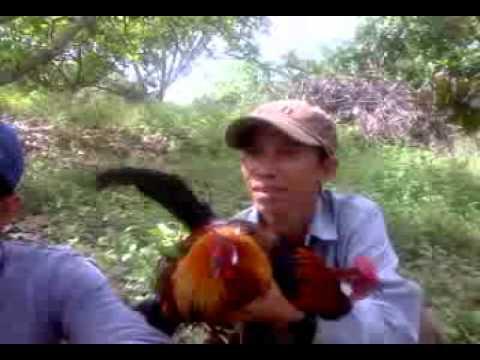 Nguyenktcn-Gà rừng