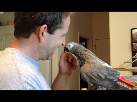 How an African Grey Parrot Shows Affection