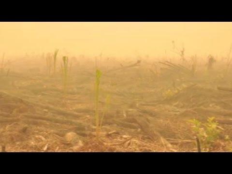 Siapa menanam sawit di bekas lahan yang terbakar?