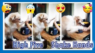 """Cute & Funny Dog Video:   Cyber does """"High five"""" and """"Shake Hands"""""""
