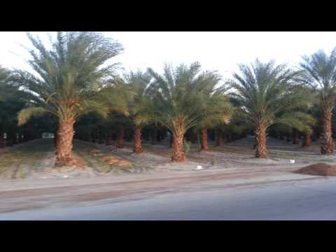 Palm Springs (Mecca California) Date palms