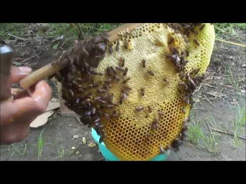 CARA Panen Lebah Madu dari sarang - harvest Honey Apis Cerana bee !!