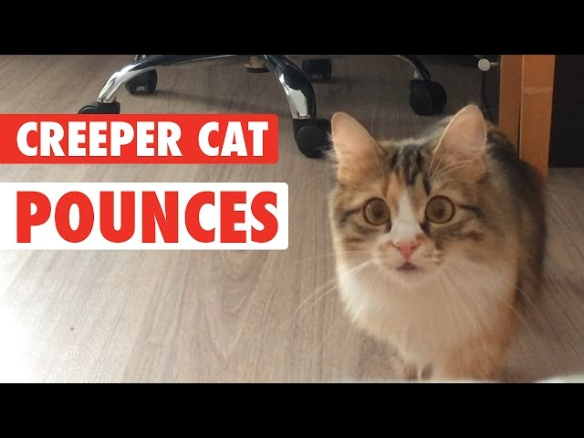 Kitty Cat Creeper || Cat Creeps to Camera