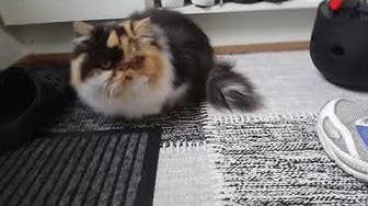 Sahara, tylppänokkainen 😻 persialainen kissa
