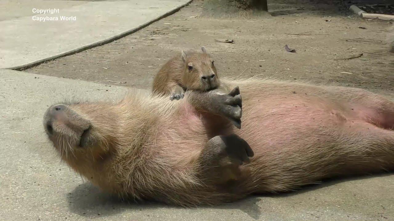 Baby Capybaras Are So Cute Especially Jumping On Older Capybaras  かわいい赤ちゃんカピバラ 可愛的水豚寶寶