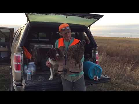 Springer Spaniel Most Versatile Hunting Dog