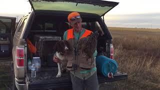 Springer spaniel most versatile hunting dog