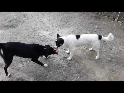 Dogs Fighting For Glove