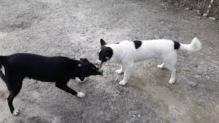 Funny Dogs Fighting For Glove