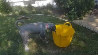 Standard Schnauzer curious about a bucket of water!