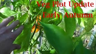 Allotment Diary : Early Autumn Veg plot, polytunnel & greenhouse gardening update