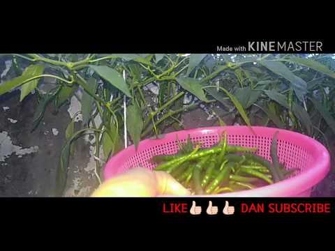 cabai merah keriting part 12 (how to plant hydroponic chilli part 12)