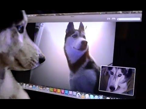 2 Siberian Huskies Skype - Mishka & Laika