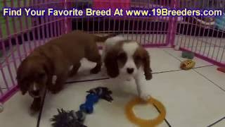 Cavalier King Charles Spaniel, Puppies, For, Sale, In, Birmingham, Alabama, Al, Montgomery, Tuscaloo