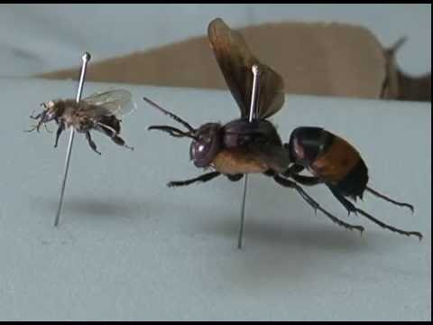 New dangerous wasp species appears on Guam