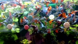 #Корм для рыбок #ГУППИ. Как и чем я кормлю Аквариумных Рыб.