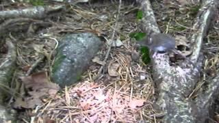 八ヶ岳 観音平から青年小屋に向かう登りで見つけました。 http://kugibe...