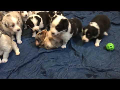 Australian Shepherd Puppies – 4 week update!