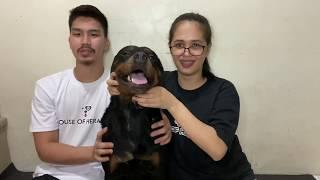 Rottweiler Breeding | Rottweiler Stud Session | Big Dogs