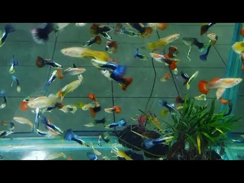 Guppy Fishes For Sale At Wholesale Cost Wholesale Guppy Fish