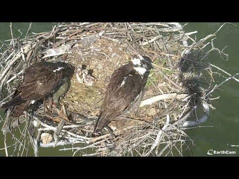 EarthCam Live: Osprey Cam
