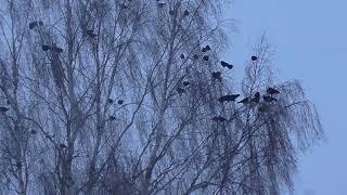 Зима  На даче только галки  Winter in the country only jackdaws