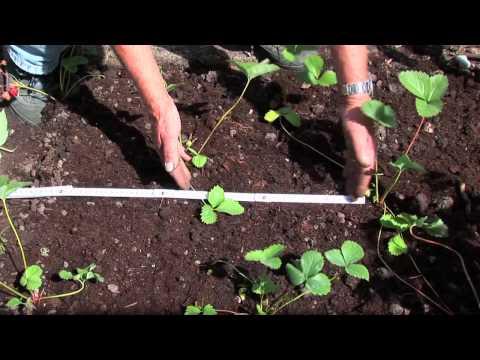 Atemberaubend Erdbeeren pflanzen und pflegen - YouTube &ZI_56
