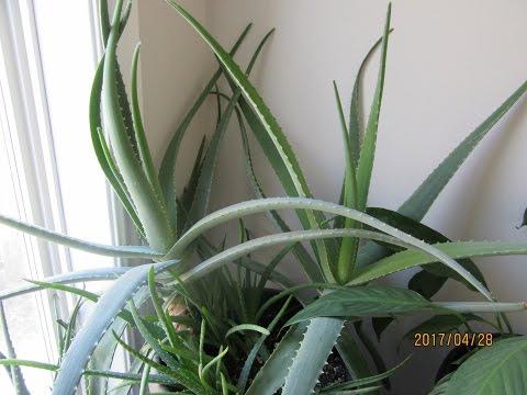 Aloe Vera Care