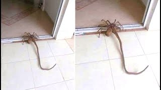 This Woman Keeps Discovering These Giant Spiders In Her Home And Can't Explain What They Are