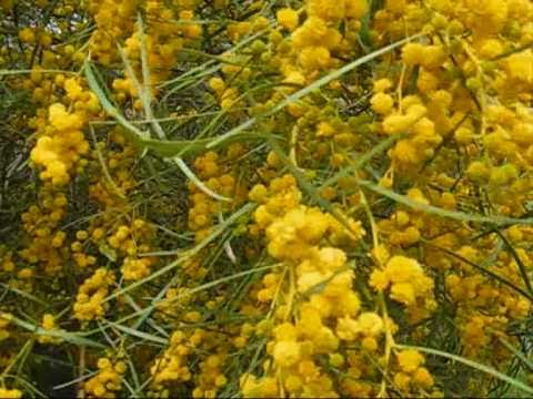 Edible Acacia Seeds--unlocking the food