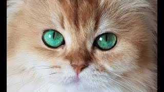WHAT KIND OF CAT IS SMOOTHIE? - A Breed That Is Often Unwanted