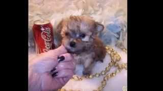 Poodle Mix Puppies,teacup Yorkie Poo Puppies For Sale..8722285224