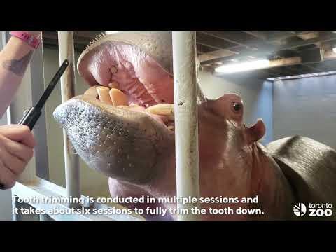 Perky Tusk Trim-Training Tuesday Toronto Zoo