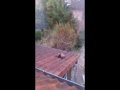 marder auf dem dach youtube