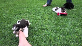 Texas T's Toy Schnauzer Male Pups