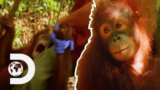 Baby Orangutan Has A Tantrum When Separated From Favourite Care Worker | Meet The Orangutans