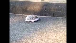 Real Life Sonic - Marutaro The Hedgehog