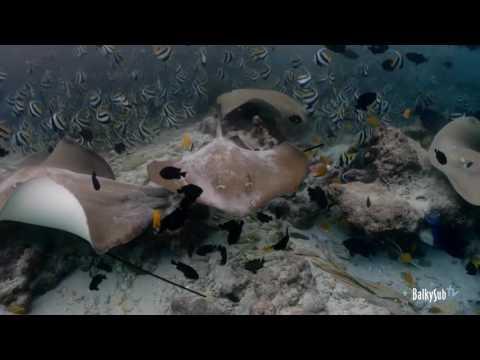 Stingray Maldives