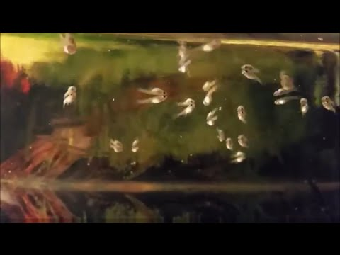 Top 3 Reasons Why Guppy Fry Are Not Growing. Tips For Raising Guppy / Molly / Livebearers Correctly