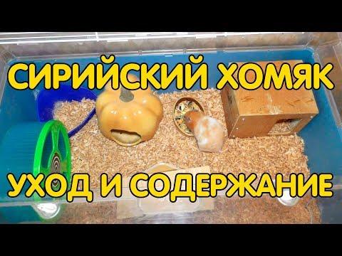 Вопрос: Как взвесить сирийского хомяка?