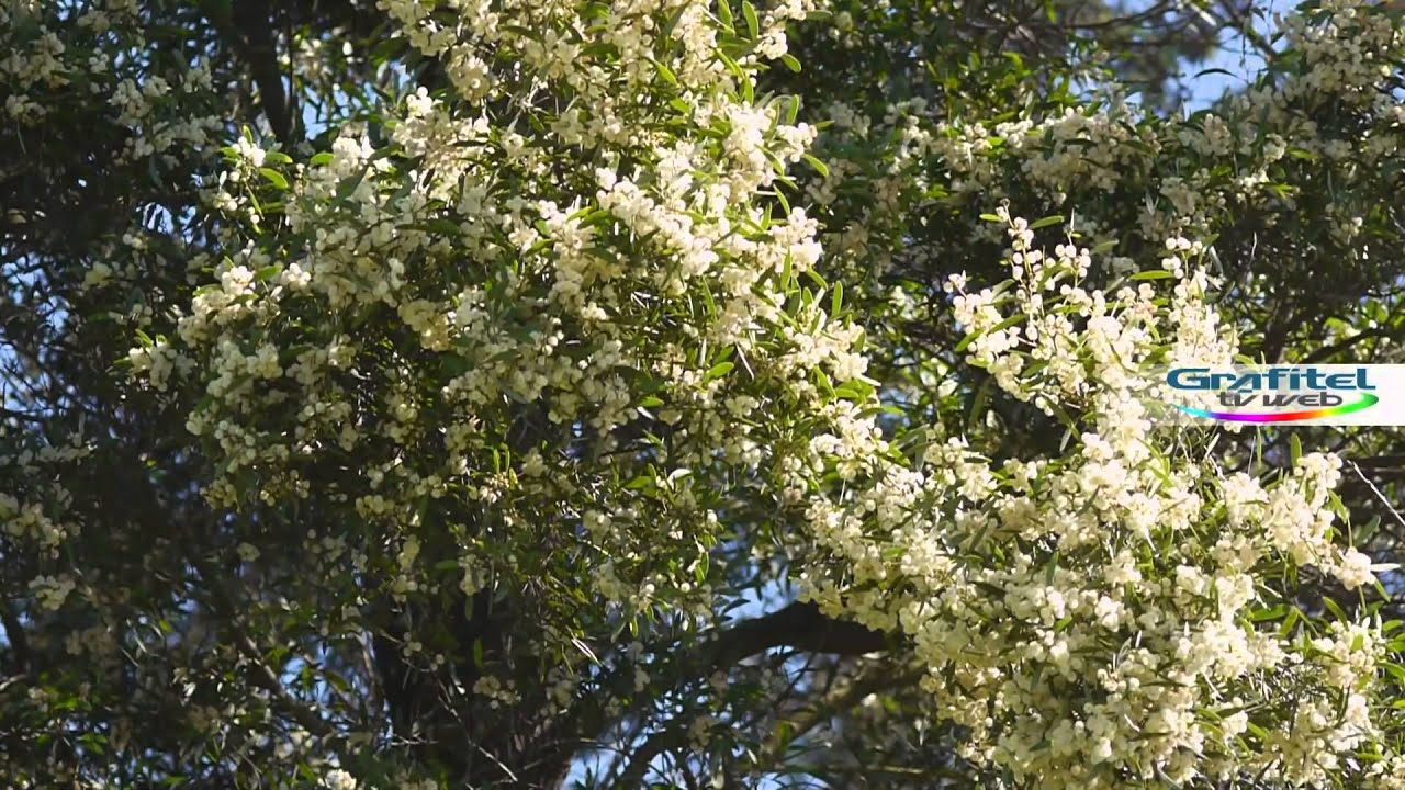 Aromo Australiano Acacia Melanoxylon Youtube