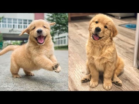 Funny And Cute Golden Retriever Puppies
