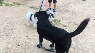 みらいとまろ朝の散歩の途中いつもの公園でお友達のりきまる君と遊ぶ。