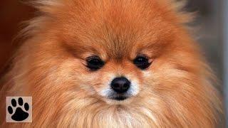 Породы собак - Померанский Шпиц. [Pomeranian (Dog Breed)]