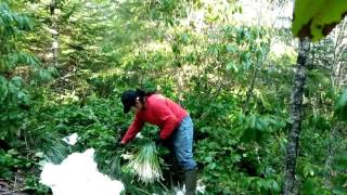 Picking beargrass