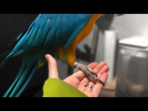 Beak First vs Foot First | Parrot Body Language