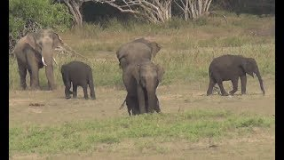 Heard of elephants & tusker at the Yala national park !