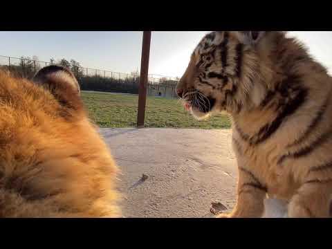 Малышей львов и тигров перевели  в БОЛЬШОЙ ВОЛЬЕР !!!