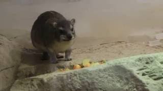 Даман Брюса кушает (Московский зоопарк)