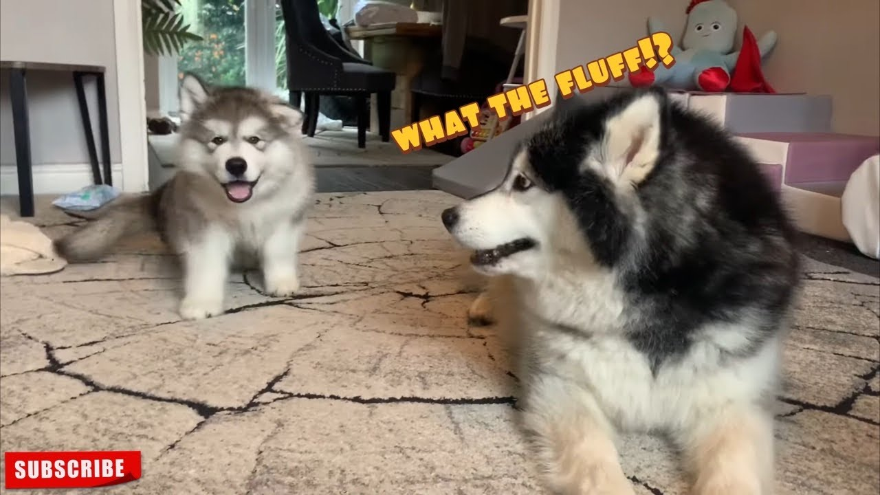 Giant Alaskan Malamute Reacts To New Puppy So Cute Youtube 3 giant alaskan malamutes also known as big teddy bears and a maine coon cat called milo. giant alaskan malamute reacts to new